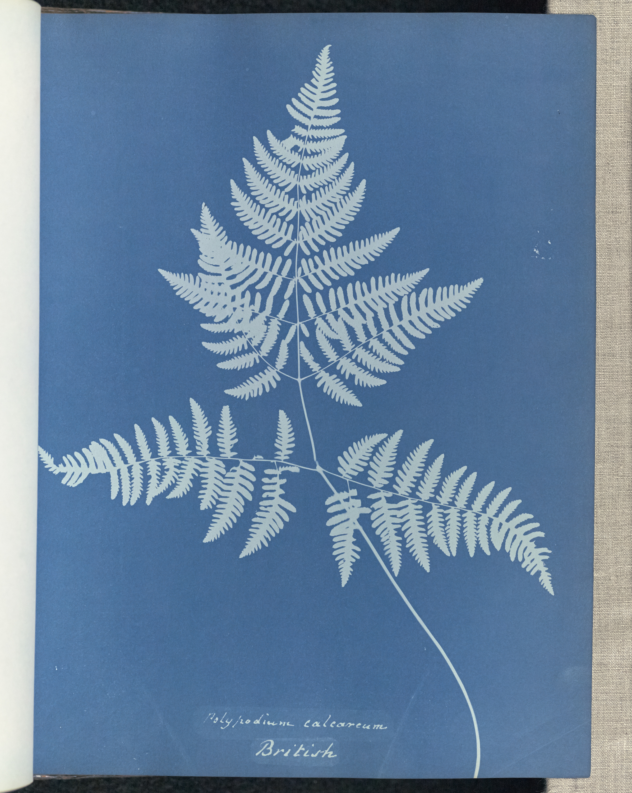 Polypodium Smith's Fern